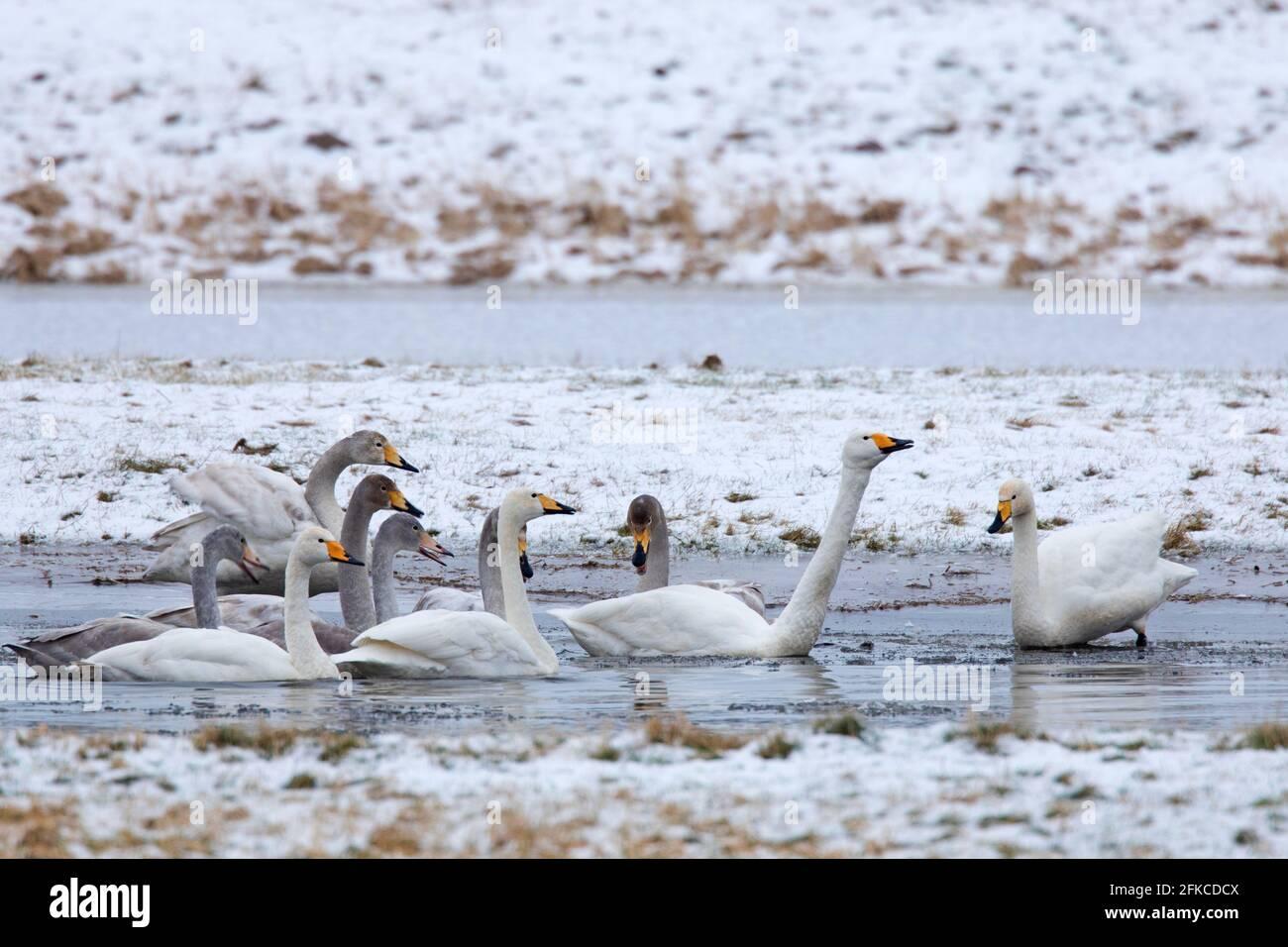 Cygnus (Cygnus cygnus) les adultes avec des juvéniles se rassemblent dans l'étang en hiver Banque D'Images