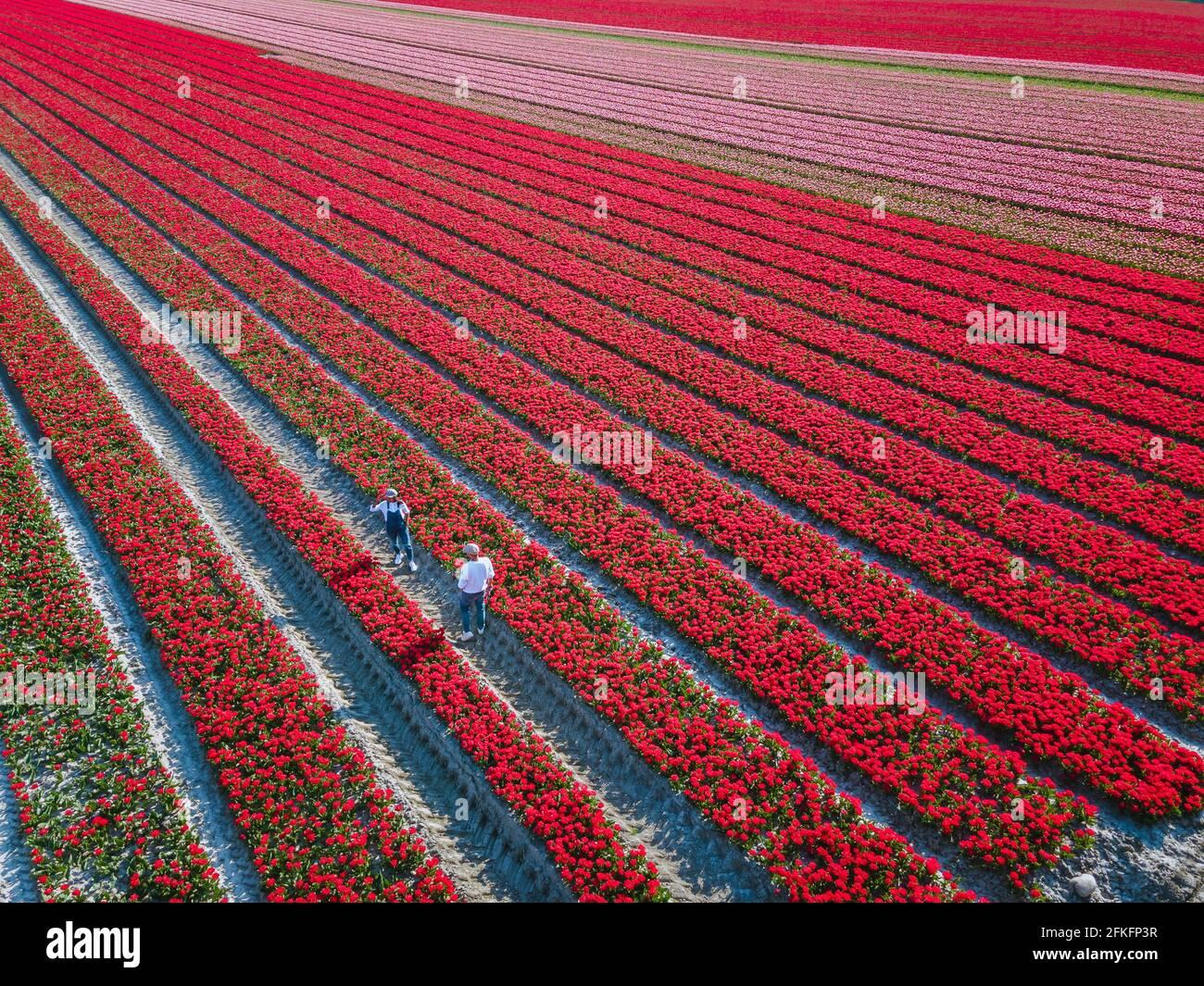 Champ de tulipes aux pays-Bas, champs de tulipes colorés à Flevoland Noordoosstpolder Hollande, vues de printemps néerlandais aux pays-Bas, couple homme et femme mi-âge dans champ de fleurs Banque D'Images