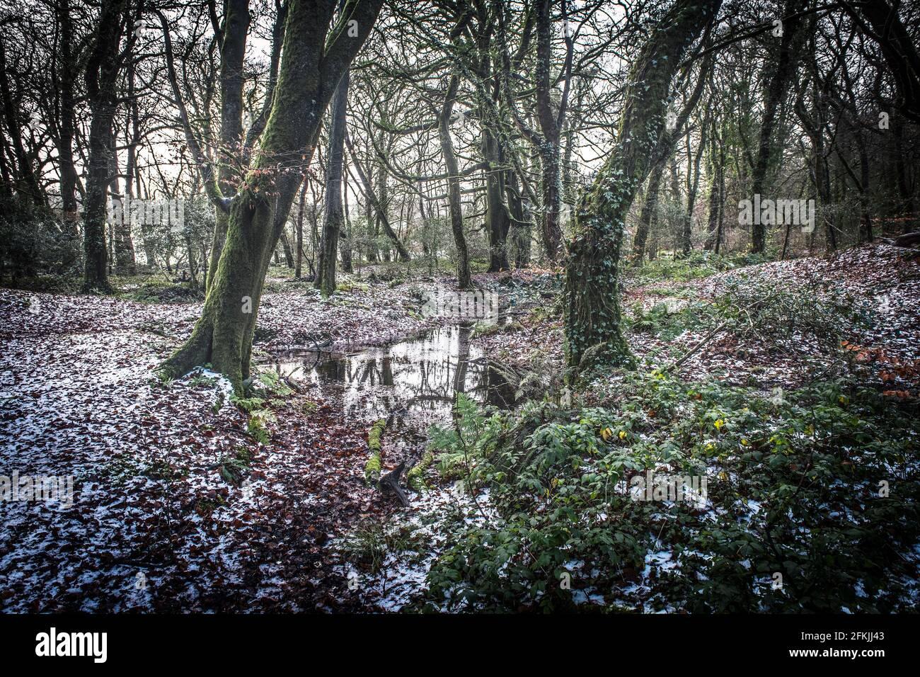 Un matin brumeux au début de l'hiver dans l'ancienne forêt de Draynes Wood, en Cornouailles. Banque D'Images