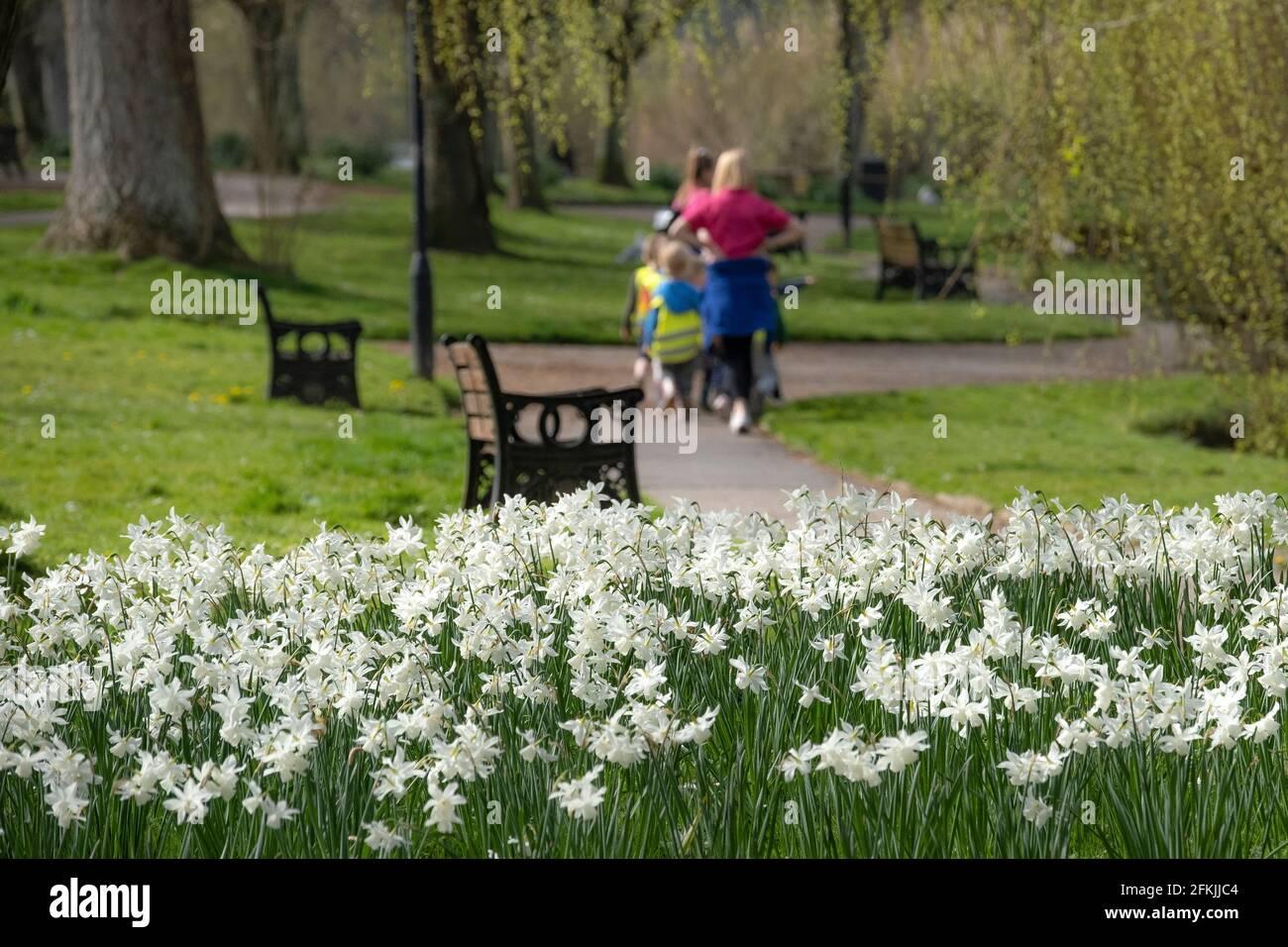 Un lit de daffodils blancs Narcisse narcissi poussant dans les jardins de Trenance à Newquay en Cornouailles. Banque D'Images