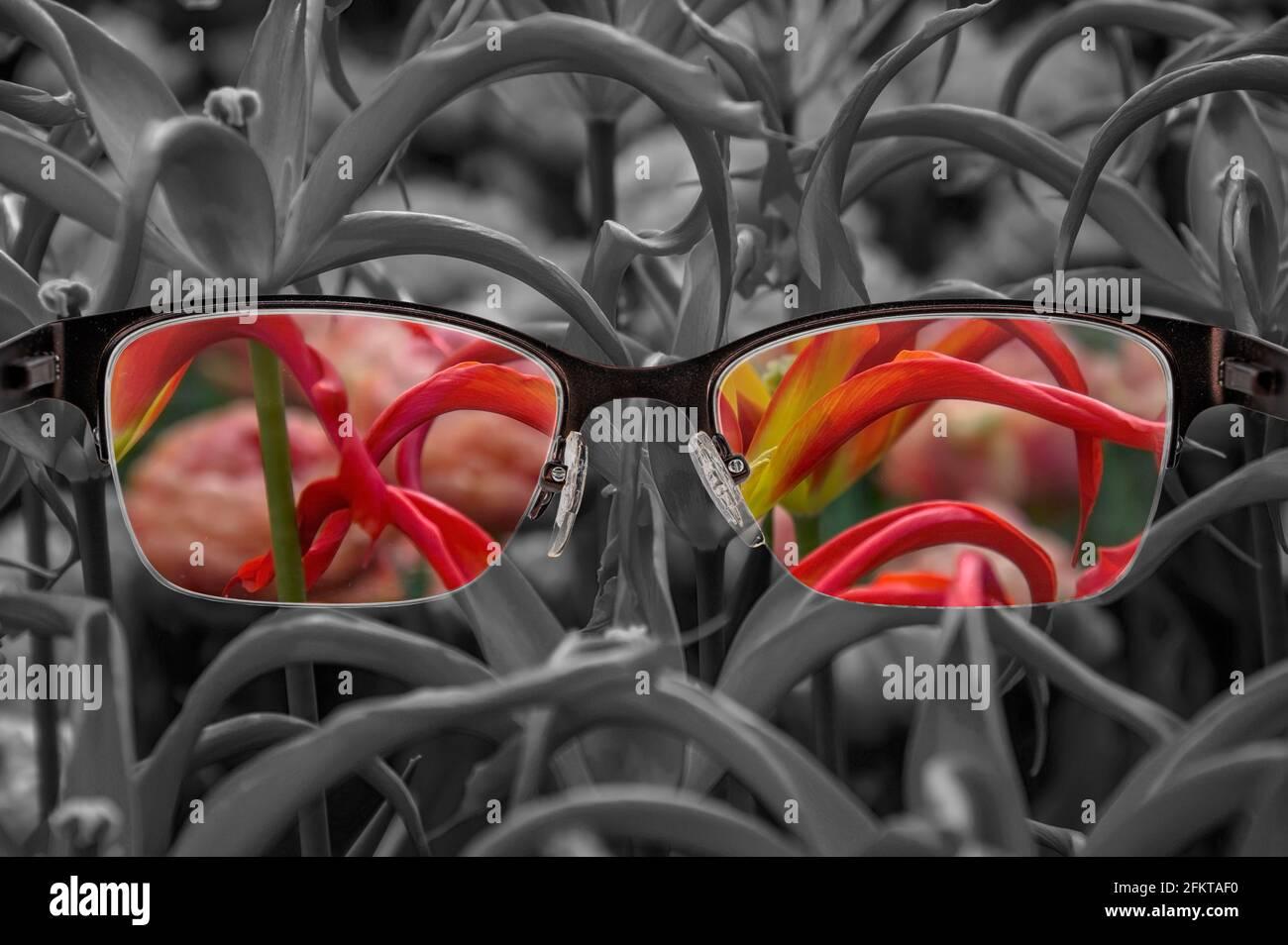 À travers le cadre des lunettes. Vue colorée des tulipes rouges en verres et fond monochrome. Perception du monde différente. Optimisme, désespoir, santé mentale Banque D'Images