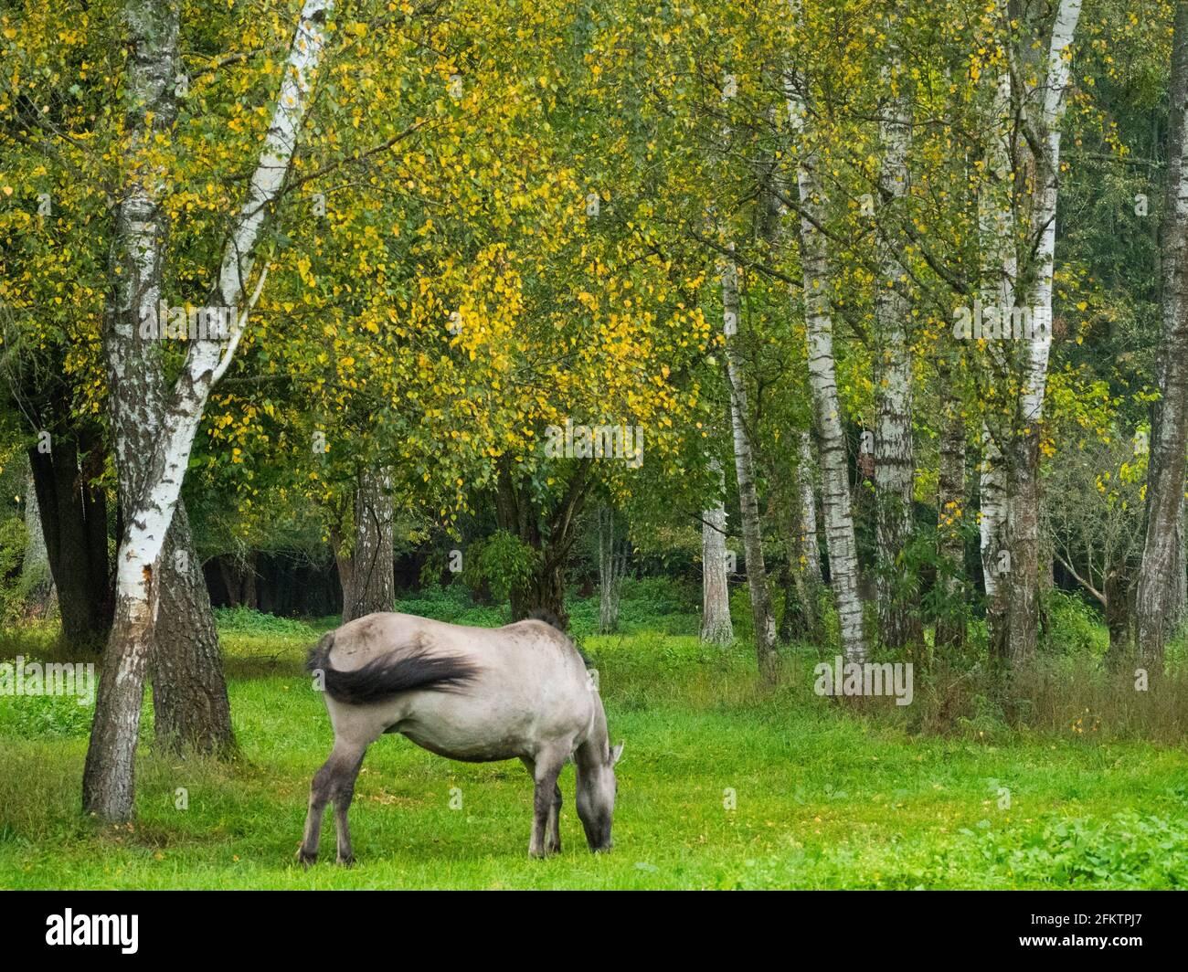 Pologne. Parc national de Bialowieza. Le Konik (polonais Konik Polski) est un poney originaire de Pologne Banque D'Images