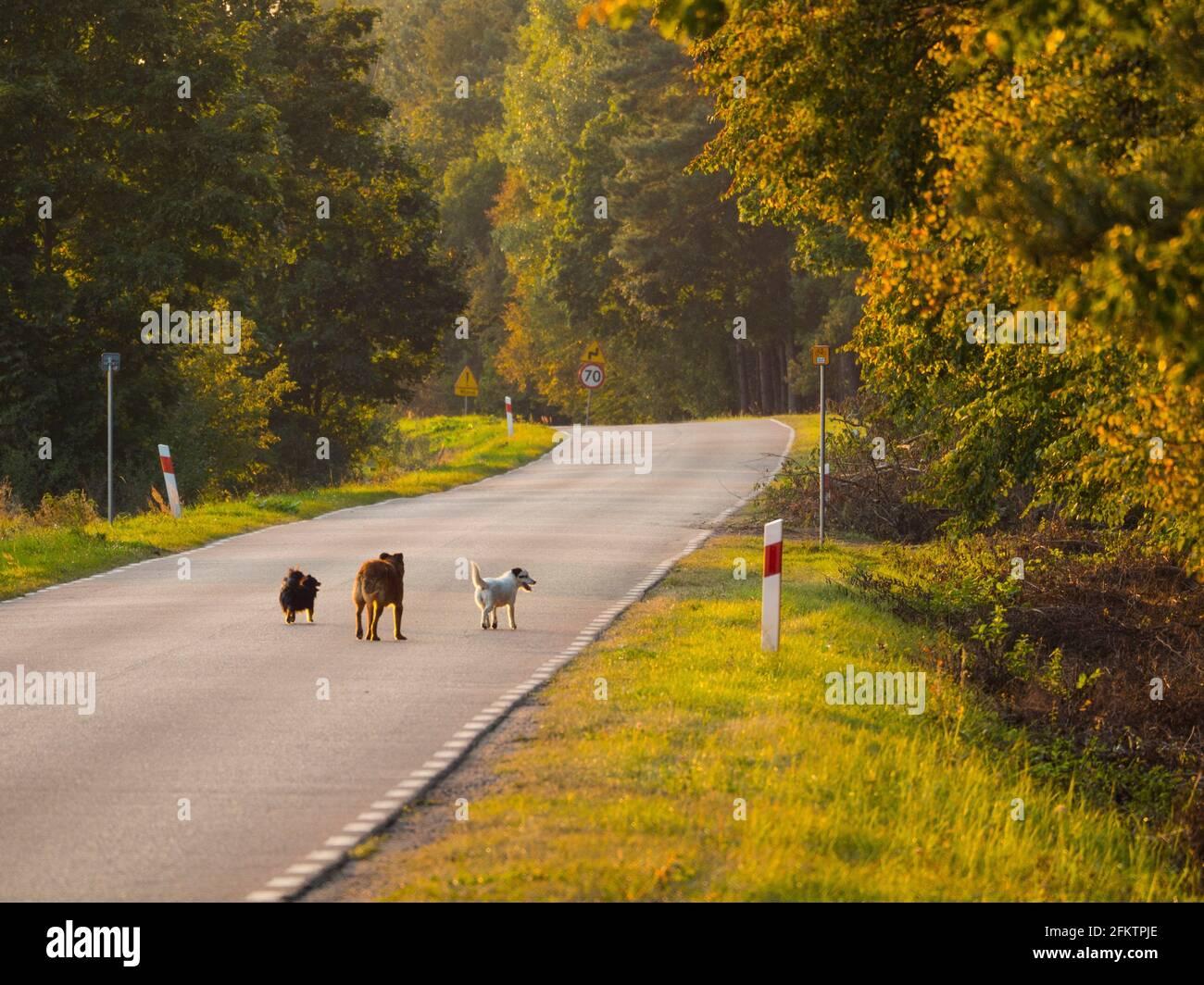Pologne. Trois chiens-amis sur une route Banque D'Images