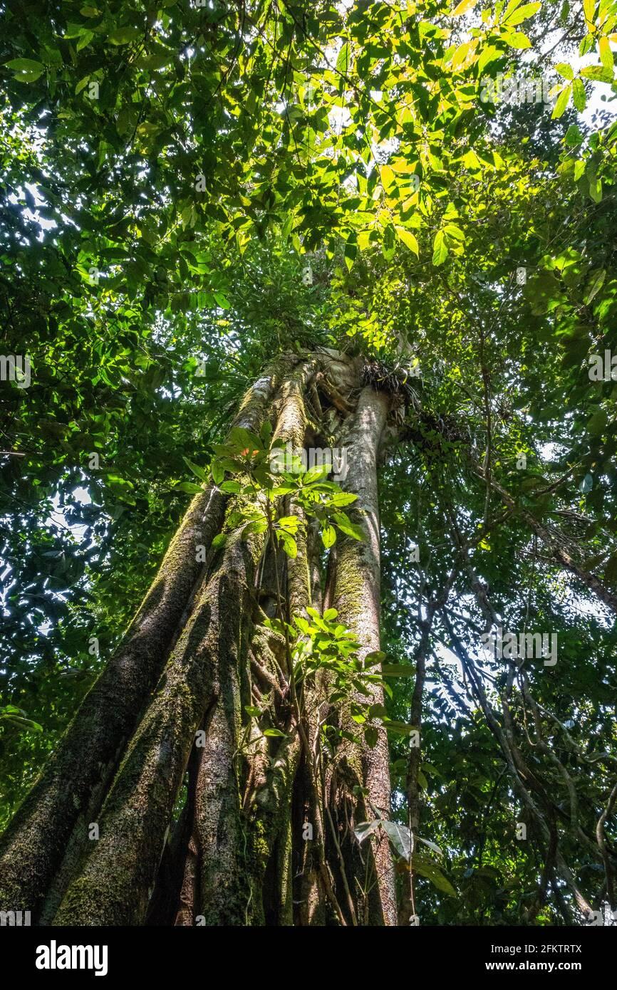 Arbres à Abba Paradise, Taiton, Bau, Sarawak, Malaisie orientale Banque D'Images