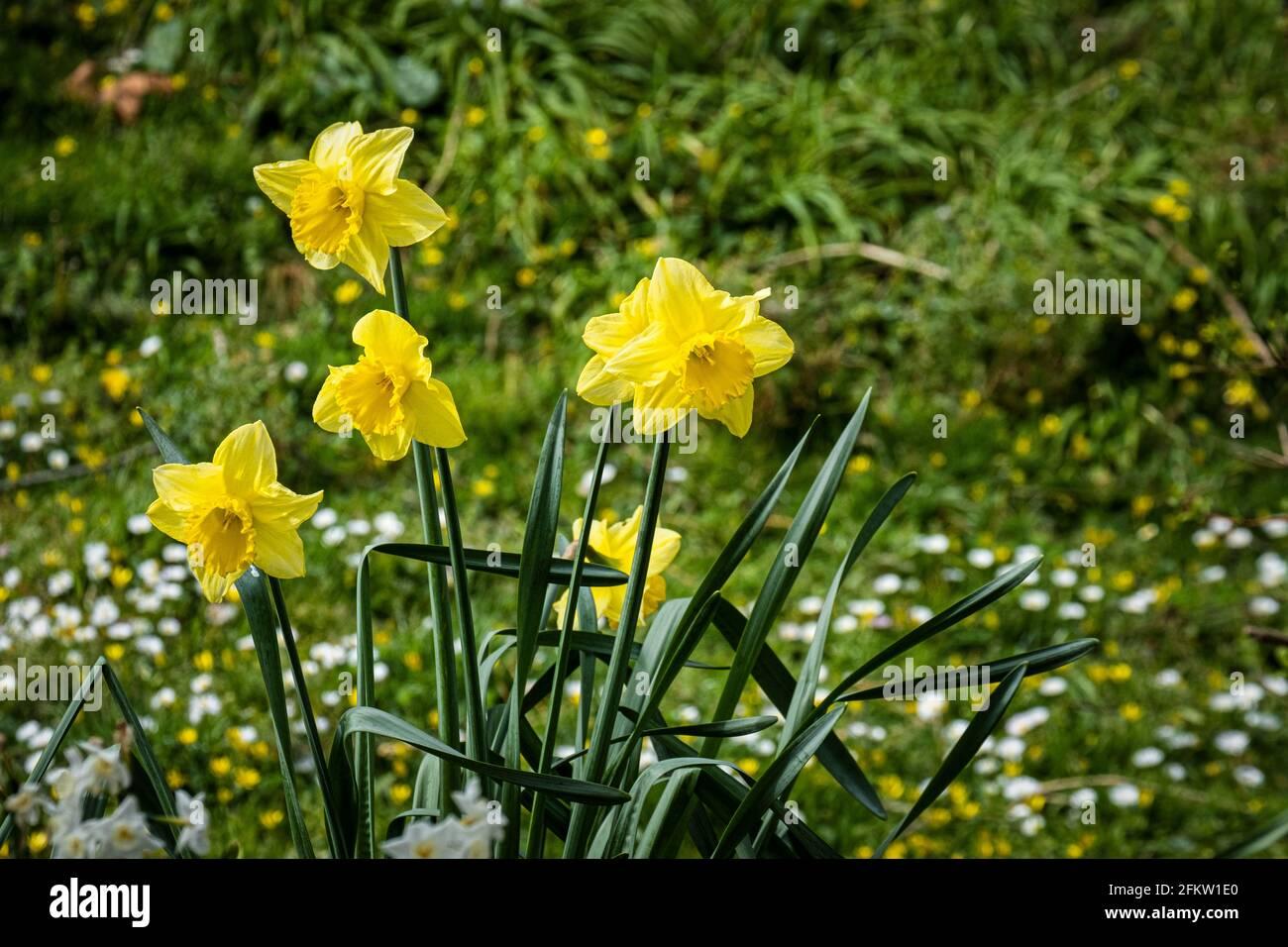Jonquilles Narcisse croissant dans la campagne. Banque D'Images