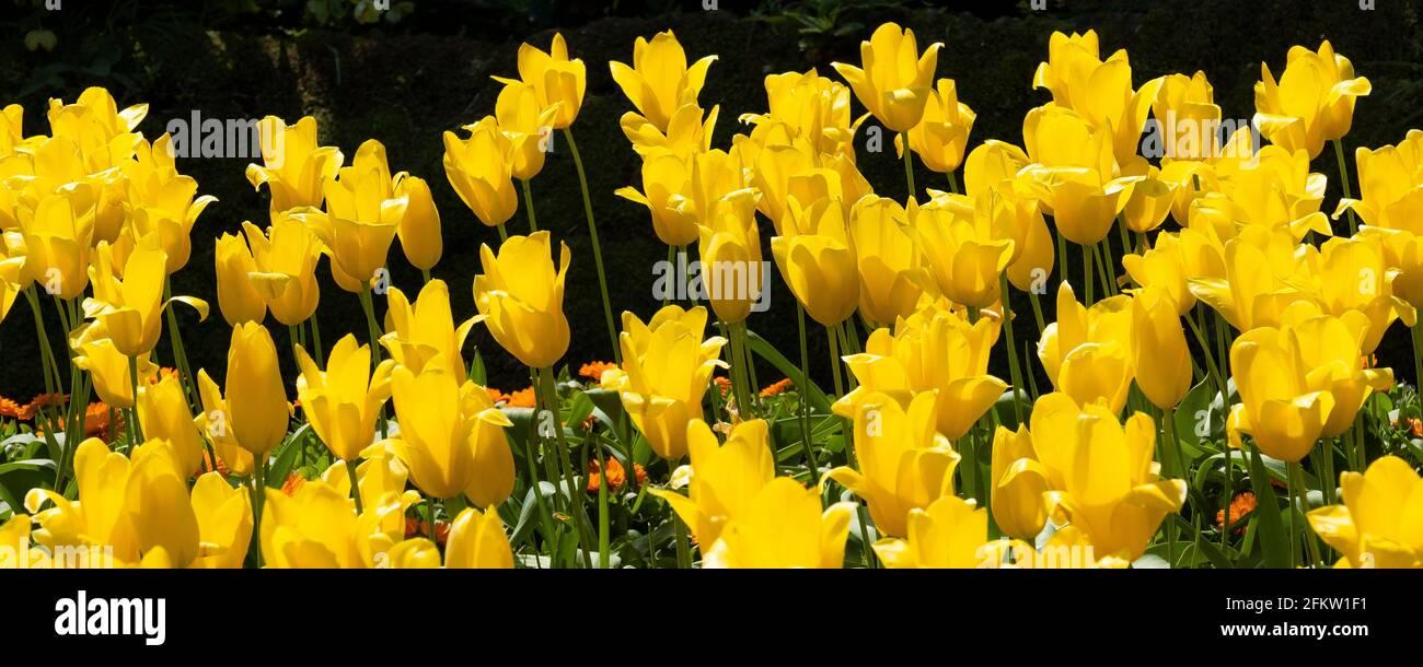 Une image panoramique des tulipes jaunes Aladdin qui poussent dans les jardins de Trenance à Newquay, en Cornouailles. Banque D'Images
