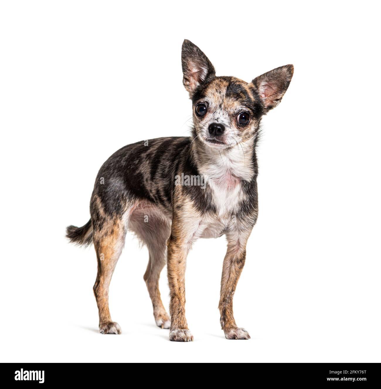 Rouge merle Chihuahua isolé sur blanc Banque D'Images