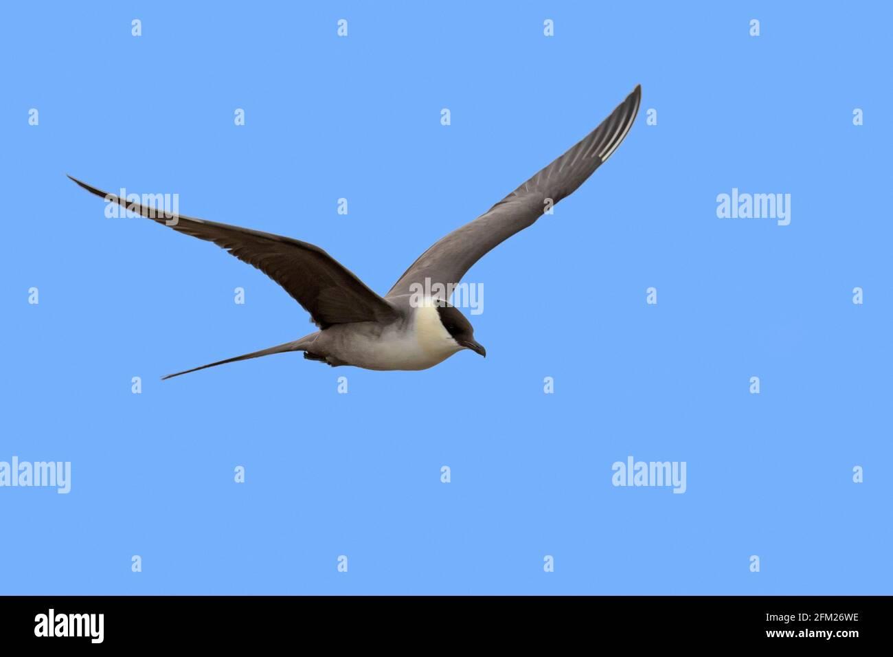 skua à queue longue / jaeger à queue longue (Stercorarius longicaudus) en vol contre le ciel bleu, Svalbard / Spitsbergen, Norvège Banque D'Images