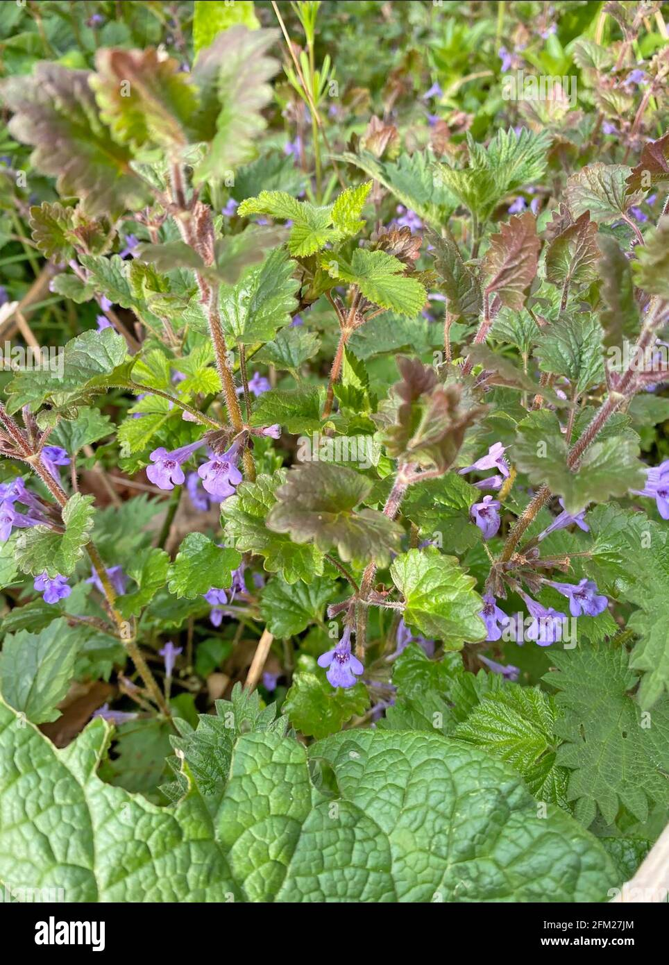 SOL IVY Glechoma hederacea. Photo : Tony Gale Banque D'Images