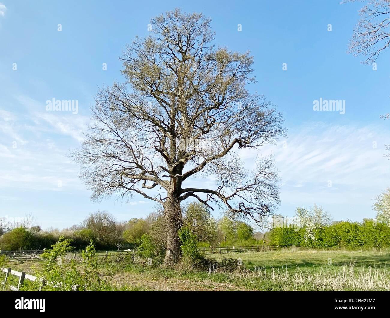 CHÊNE ANGLAIS Quercus robur en avril. Photo : Tony Gale Banque D'Images