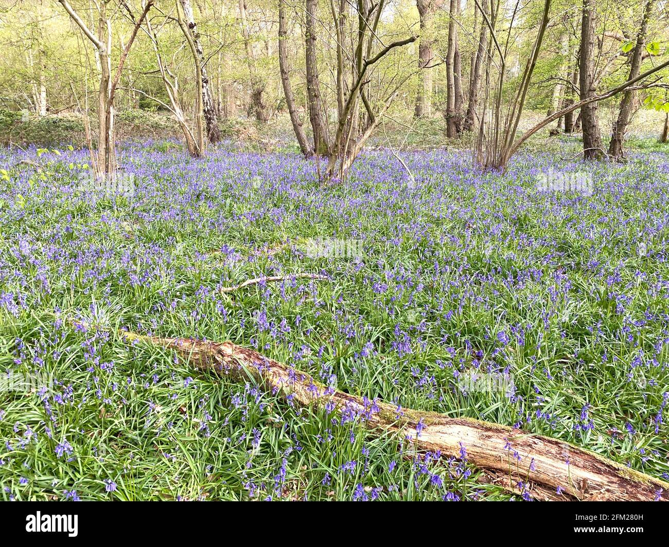 BLUEBELL WOOD à Berkshire, Angleterre, début mai. Photo : Tony Gale Banque D'Images