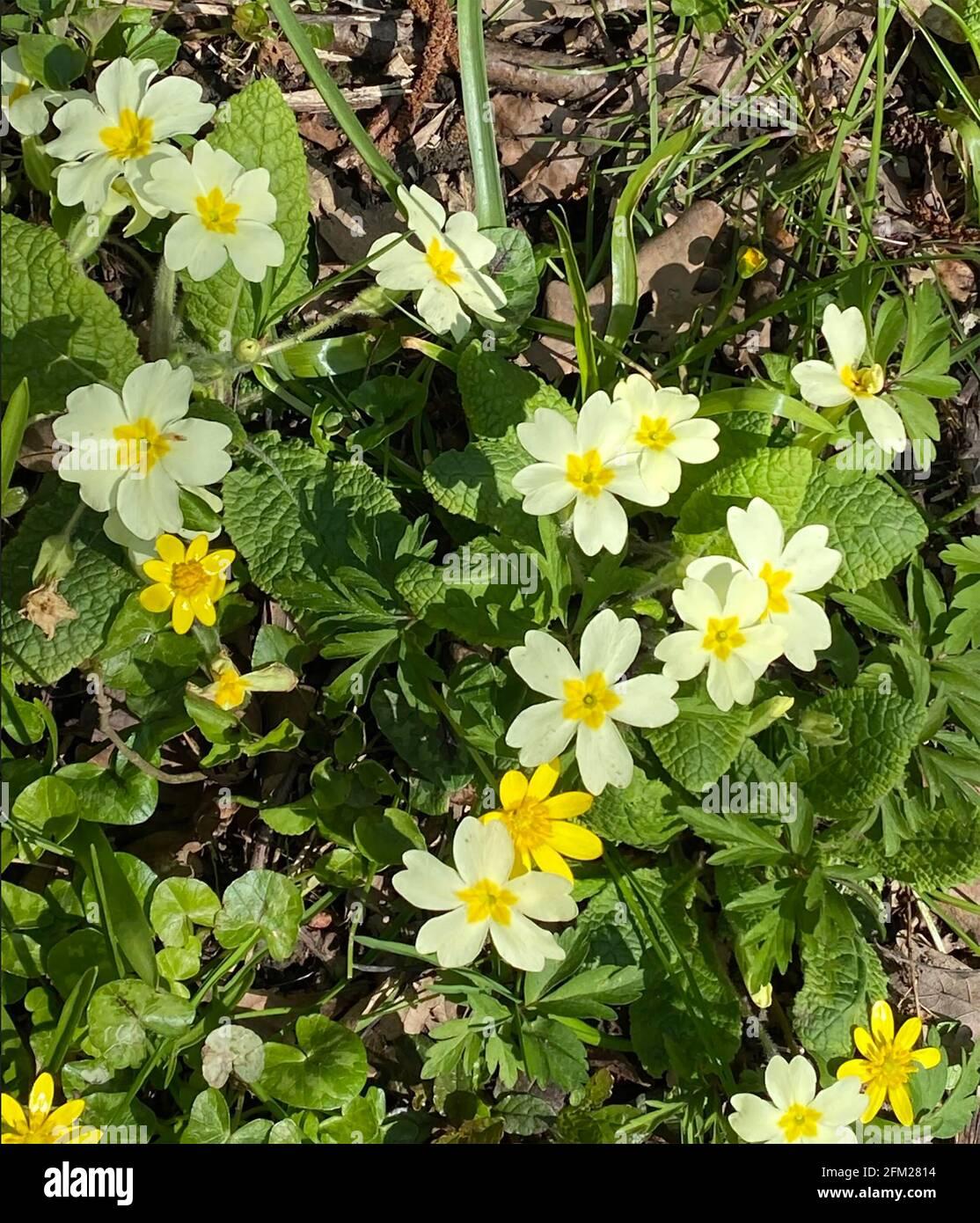 PRIMROSE PRIMULA vulgaris ANGLAIS. Photo : Tony Gale Banque D'Images