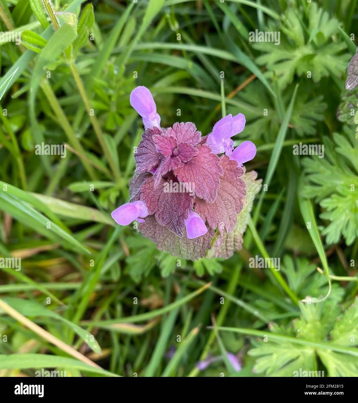 ORTIE MORTE ROUGE Lamium purpueum plante herbacée annuelle. Photo : Tony Gale Banque D'Images