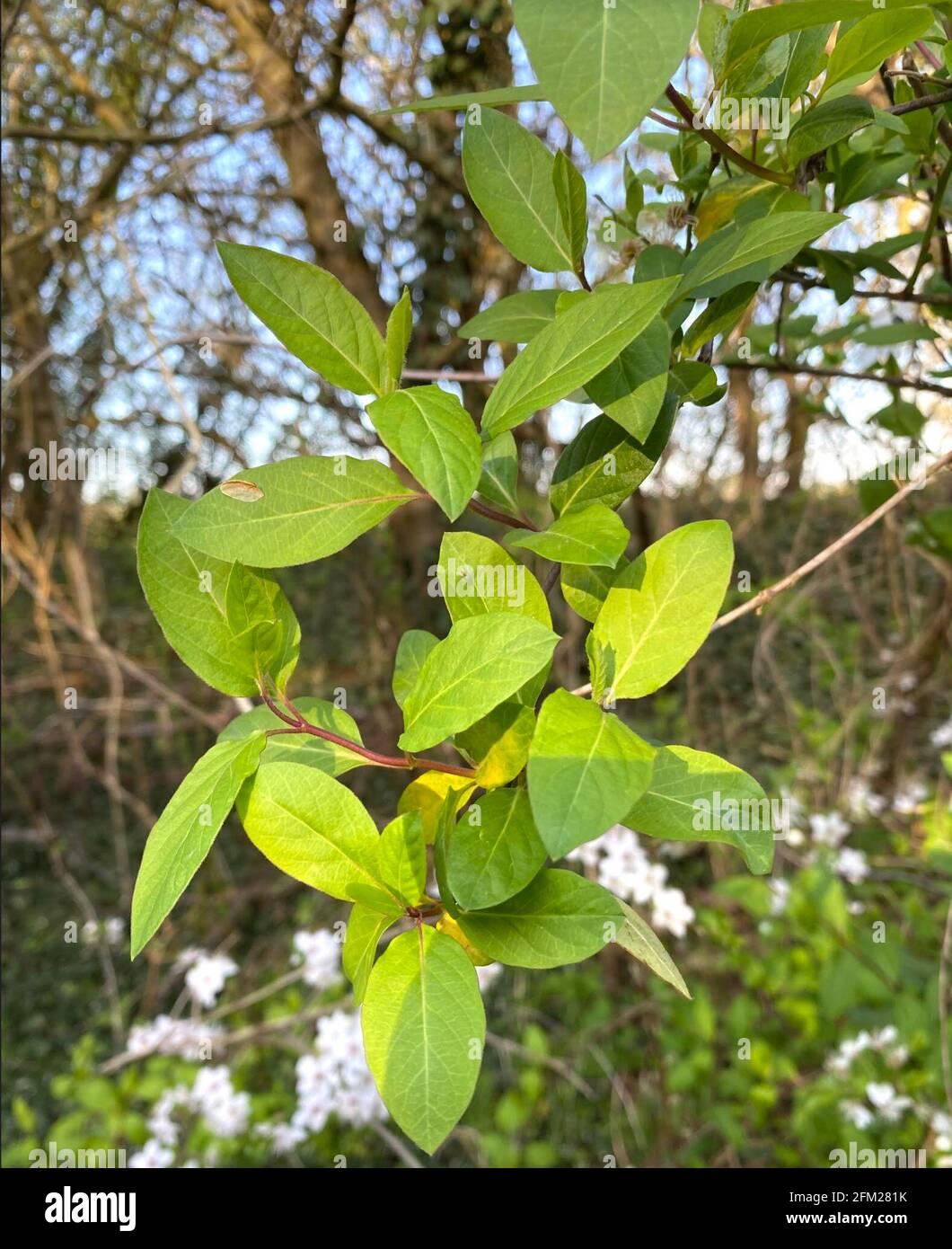 ARBRE WAYFARER Viburnum lantana départ en printemps. Photo : Tony Gale Banque D'Images