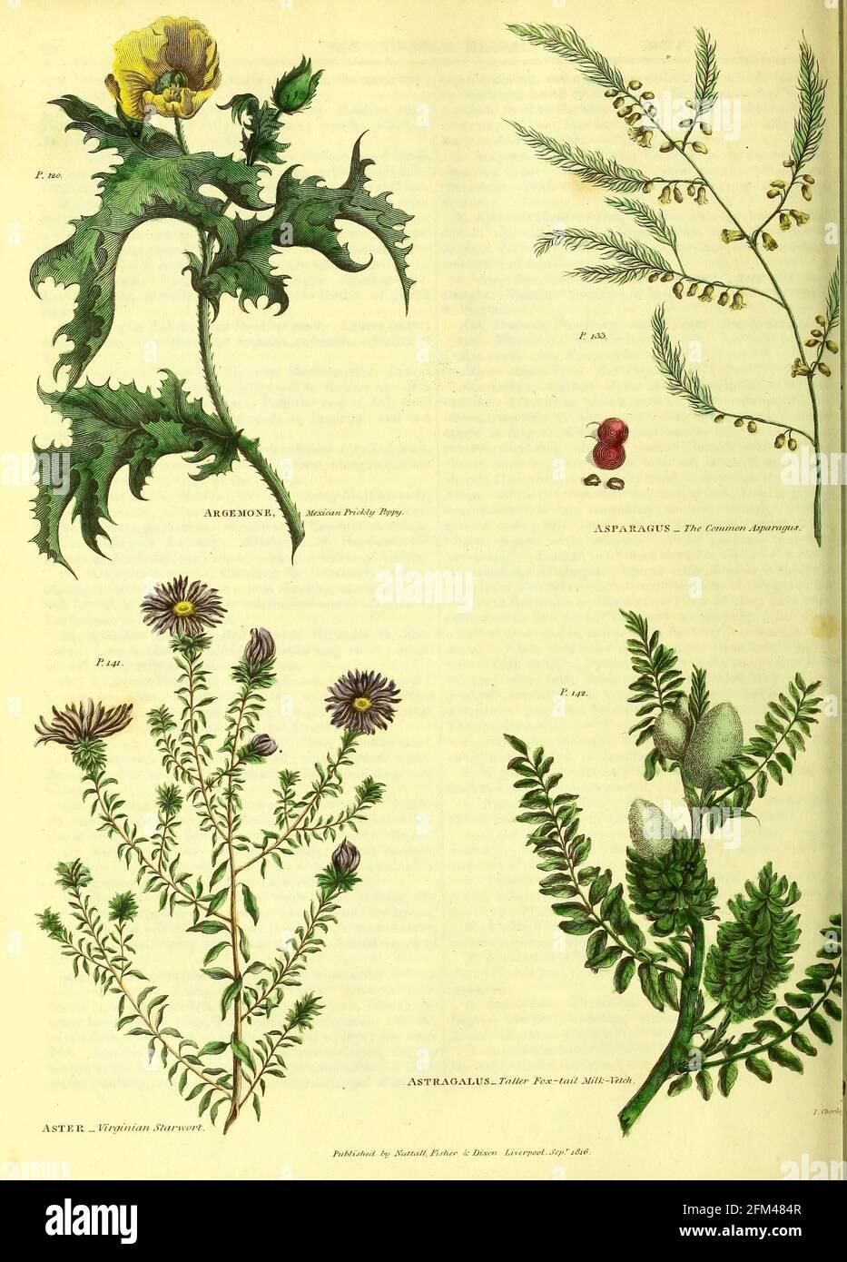 Argemone [Poppy mexicain], Asparagus, Aster [Starwort Virgian], Astragalus [latte renard-queue plus haute] du vol 1 du livre la plante universelle : ou le dictionnaire botanique, médical et agricole : contenant un compte-rendu de toutes les plantes connues dans le monde, arrangé selon le système Linnean. Préciser les utilisations auxquelles elles sont ou peuvent être appliquées par Thomas Green, publié en 1816 par Nuttall, Fisher & Co. À Liverpool et imprimé à la Caxton Press par H. Fisher Banque D'Images