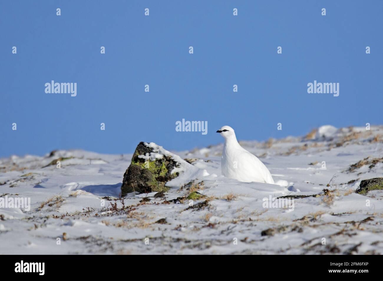 Lagopède de roche (Lagopus muta / Lagopus mutus) poule / femelle en plumage blanc d'hiver camouflé dans le neige sur la toundra Banque D'Images