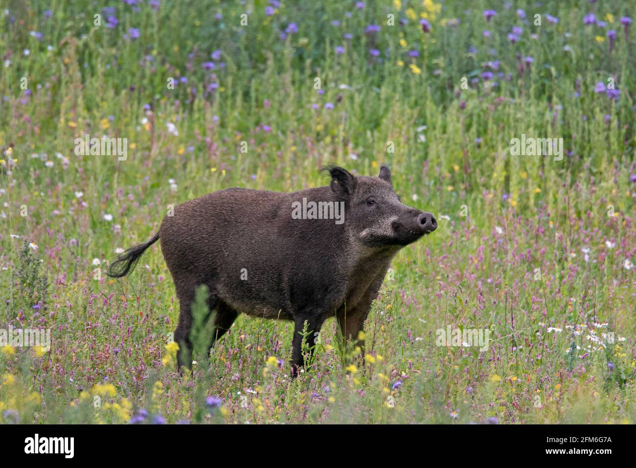 Sanglier (sus scrofa) mâle dans la prairie avec fleurs sauvages en été Banque D'Images