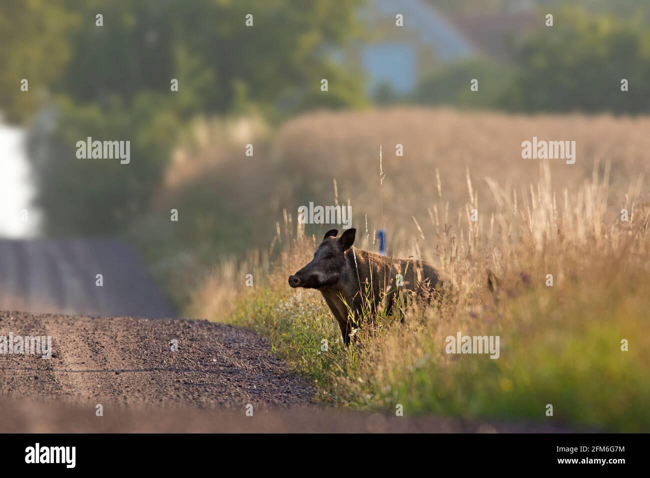Sanglier (sus scrofa) femelle / truie sortant du champ et traversant la terre rurale route en été Banque D'Images
