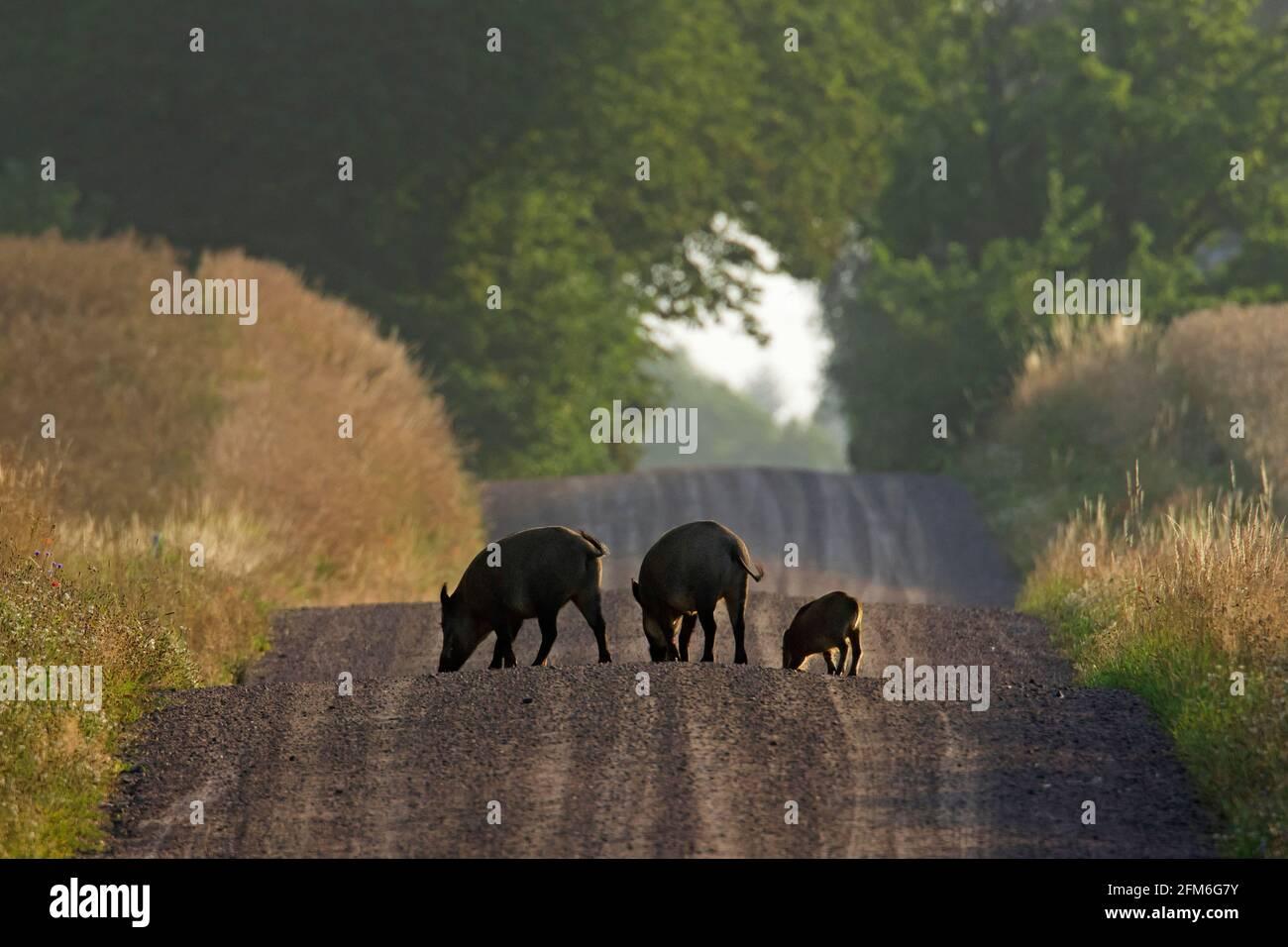 Sangliers (sus scrofa) avec la recherche de jeunes le long de la route de terre rurale dans la forêt en été Banque D'Images