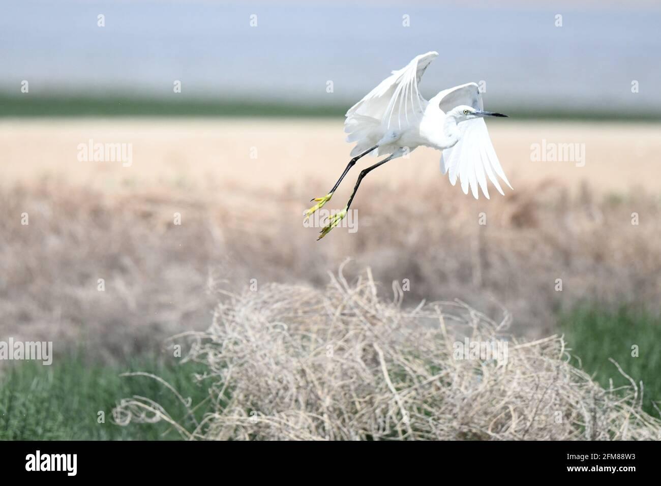 Koweït. 6 mai 2021. Photo prise le 6 mai 2021 montre un oiseau sur une plage dans le gouvernorat de Jahra, au Koweït. Credit: Ghazy Qaffaf/Xinhua/Alamy Live News Banque D'Images