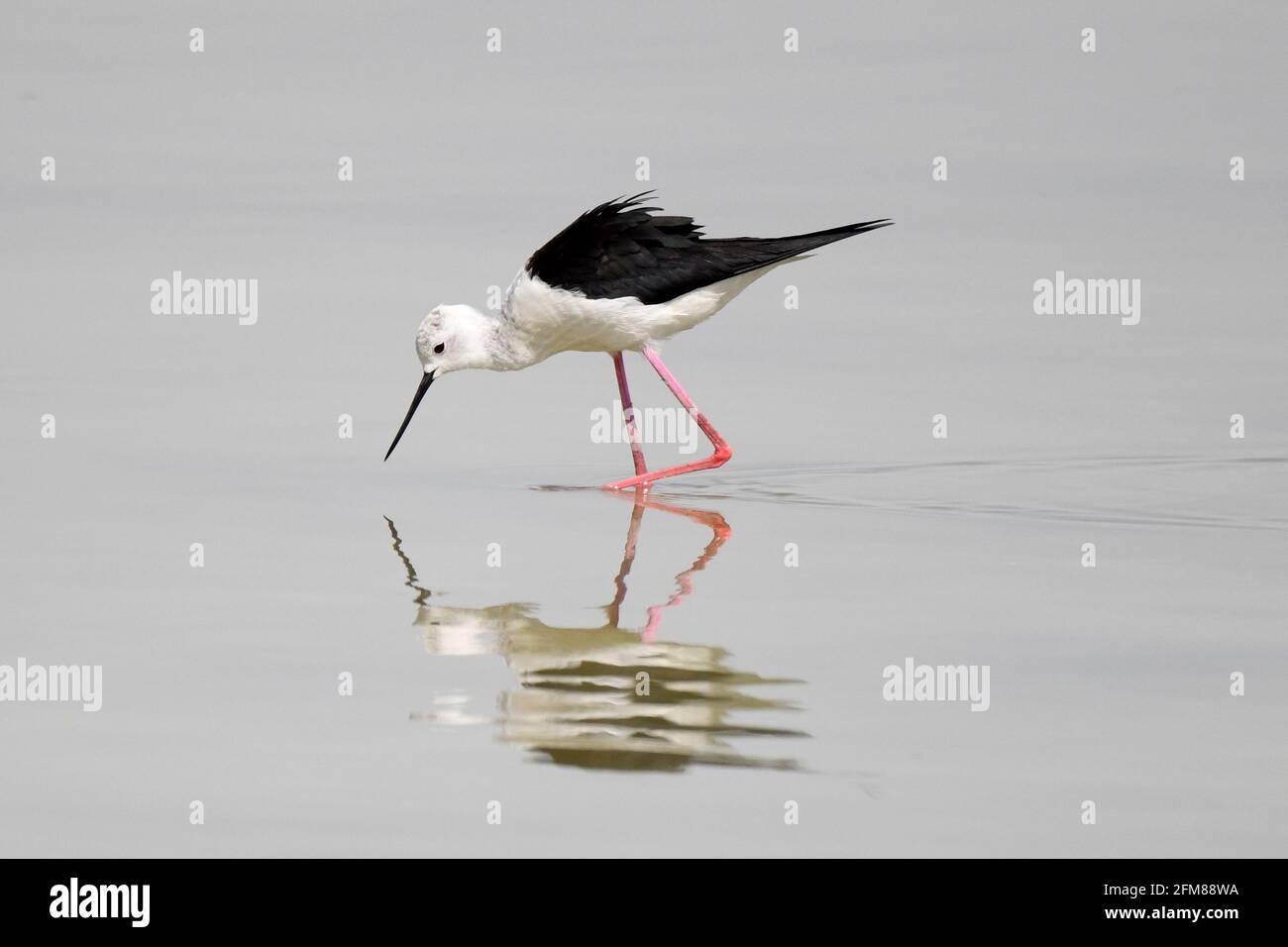 Koweït, Koweït. 6 mai 2021. Un oiseau se trouve sur une plage dans le gouvernorat de Jahra, au Koweït, le 6 mai 2021. Credit: Ghazy Qaffaf/Xinhua/Alamy Live News Banque D'Images