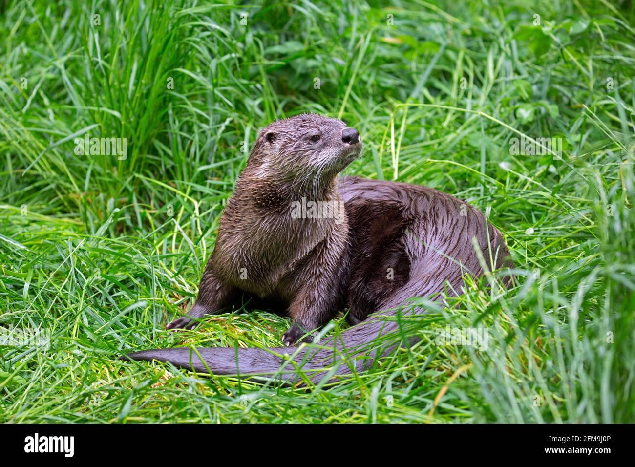 Loutre eurasien / loutre de rivière européen (Lutra lutra) sur terre dans l'herbe de la rive de la rivière / berge dans ressort Banque D'Images