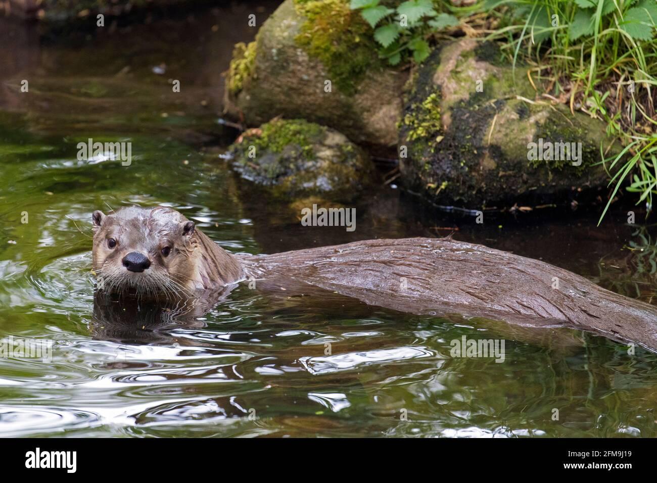 Loutre eurasien / loutre de rivière européen (Lutra lutra) entrée dans l'eau du ruisseau en forêt au printemps Banque D'Images