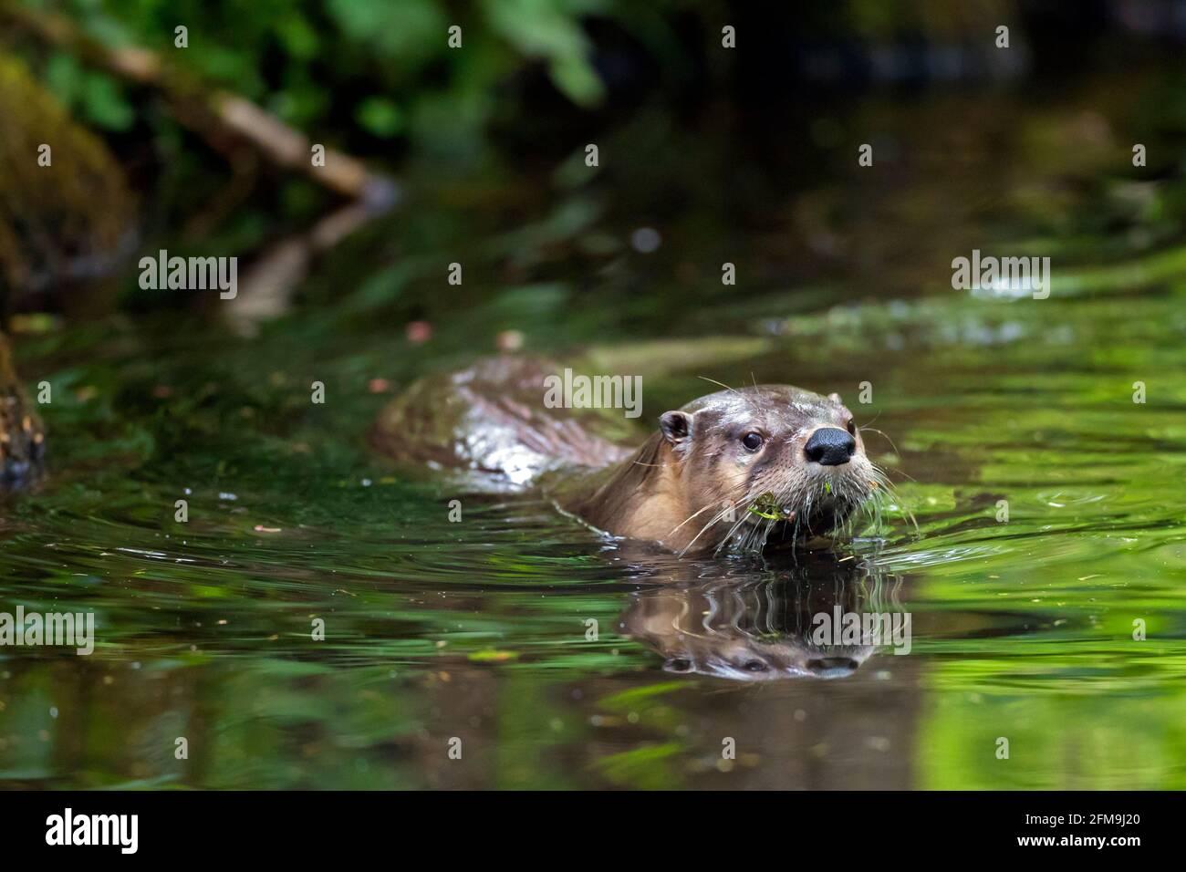 Loutre eurasien / loutre de rivière européen (Lutra lutra) natation dans l'eau de ruisseau / ruisseau dans la forêt dans ressort Banque D'Images