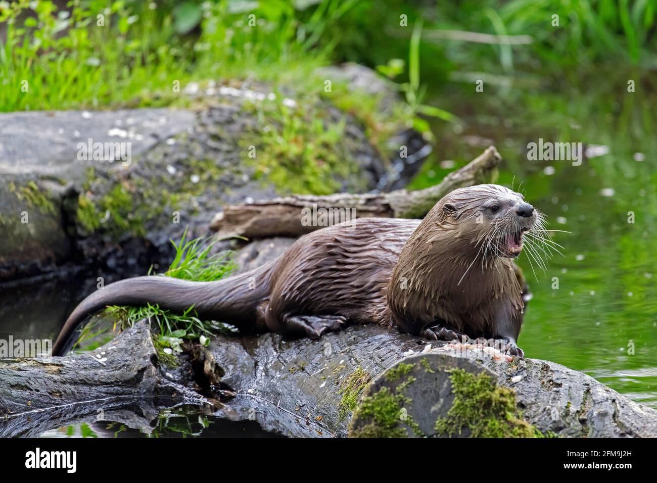 Loutre eurasien / loutre de rivière européen (Lutra lutra) appel de bûche tombée dans l'eau de creek dans la forêt Banque D'Images