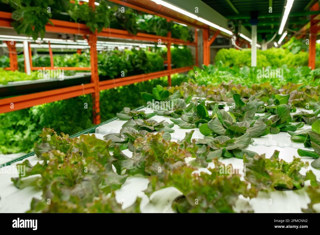 Perspective du basilic et de la laitue verts croissant sur les étagères de construction verticale de fermes en serre Banque D'Images