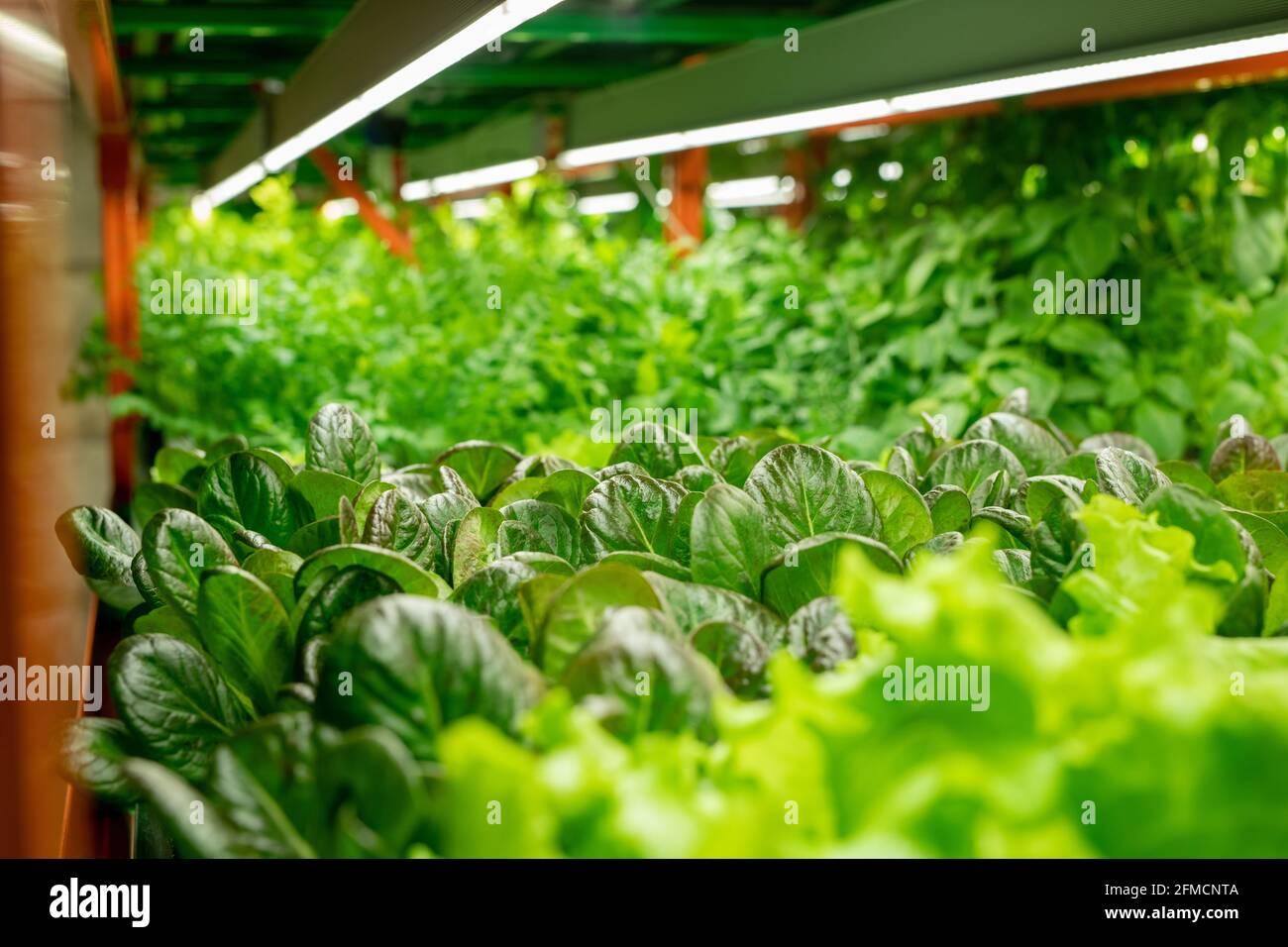 Gros plan de diverses sortes de laitue poussant sous l'agriculture verticale Système avec lampes LED Banque D'Images