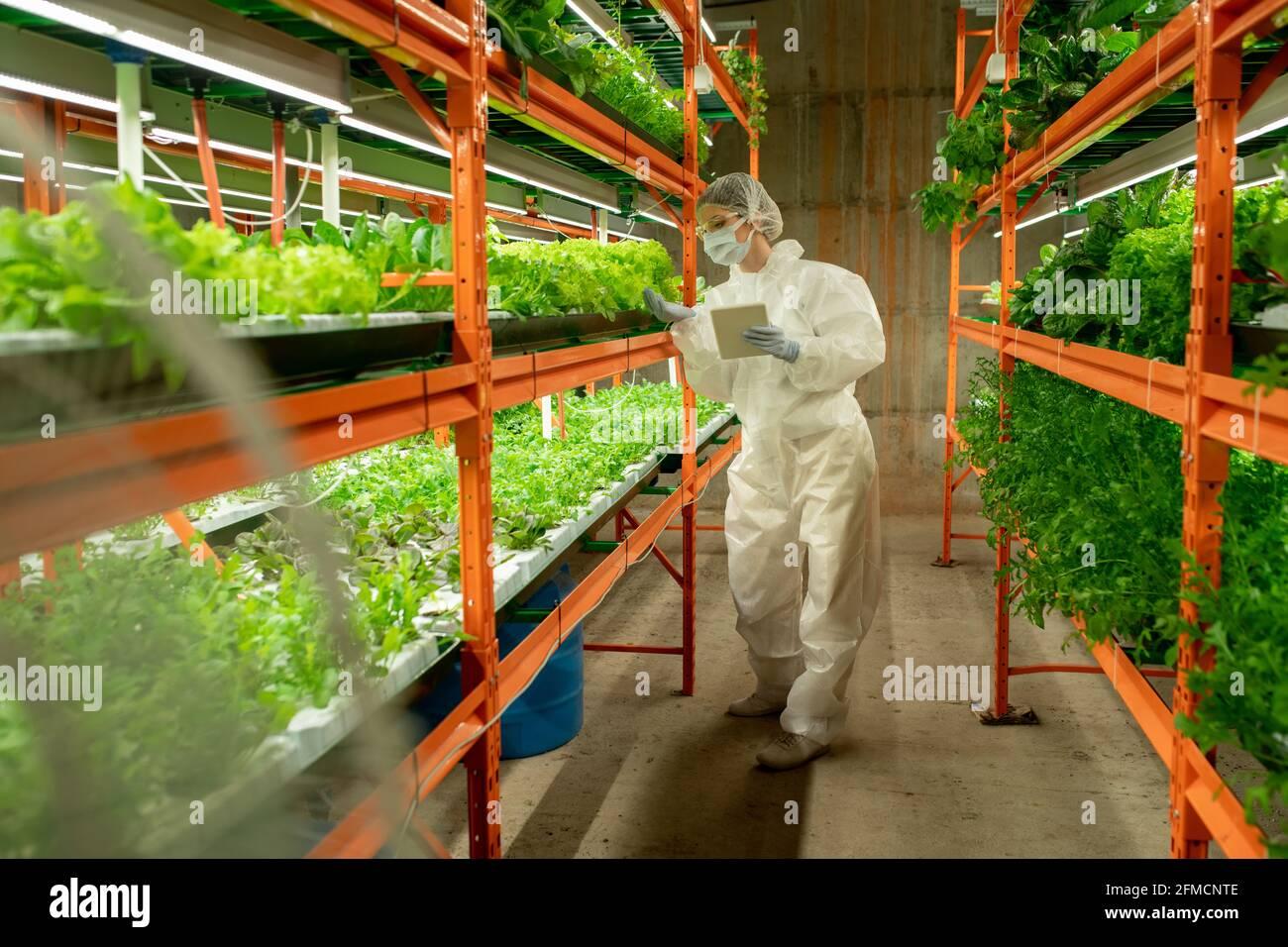 Ingénieur agricole en vêtements de travail de protection debout sur la tablette verticale de la ferme et en utilisant une tablette tout en contrôlant la qualité des verts Banque D'Images
