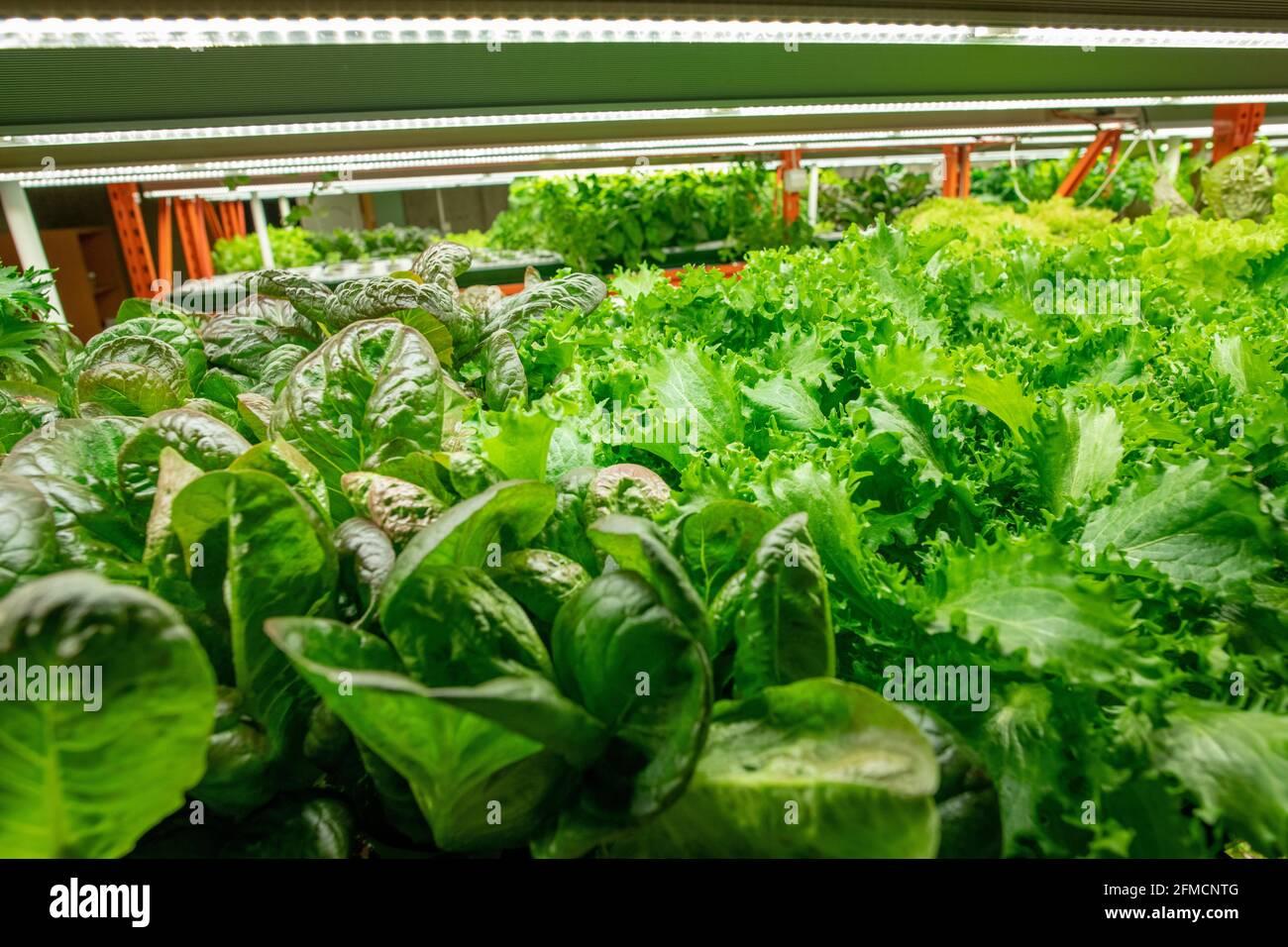 Gros plan de différentes sortes de verts avec différentes formes de Les feuilles poussent sous une lampe LED dans une ferme verticale Banque D'Images