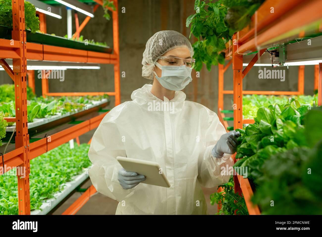 Jeune ouvrier de serre en costume de protection, masque et lunettes de sécurité tenant un comprimé et vérifiant les feuilles de légumes verts sur ferme verticale Banque D'Images