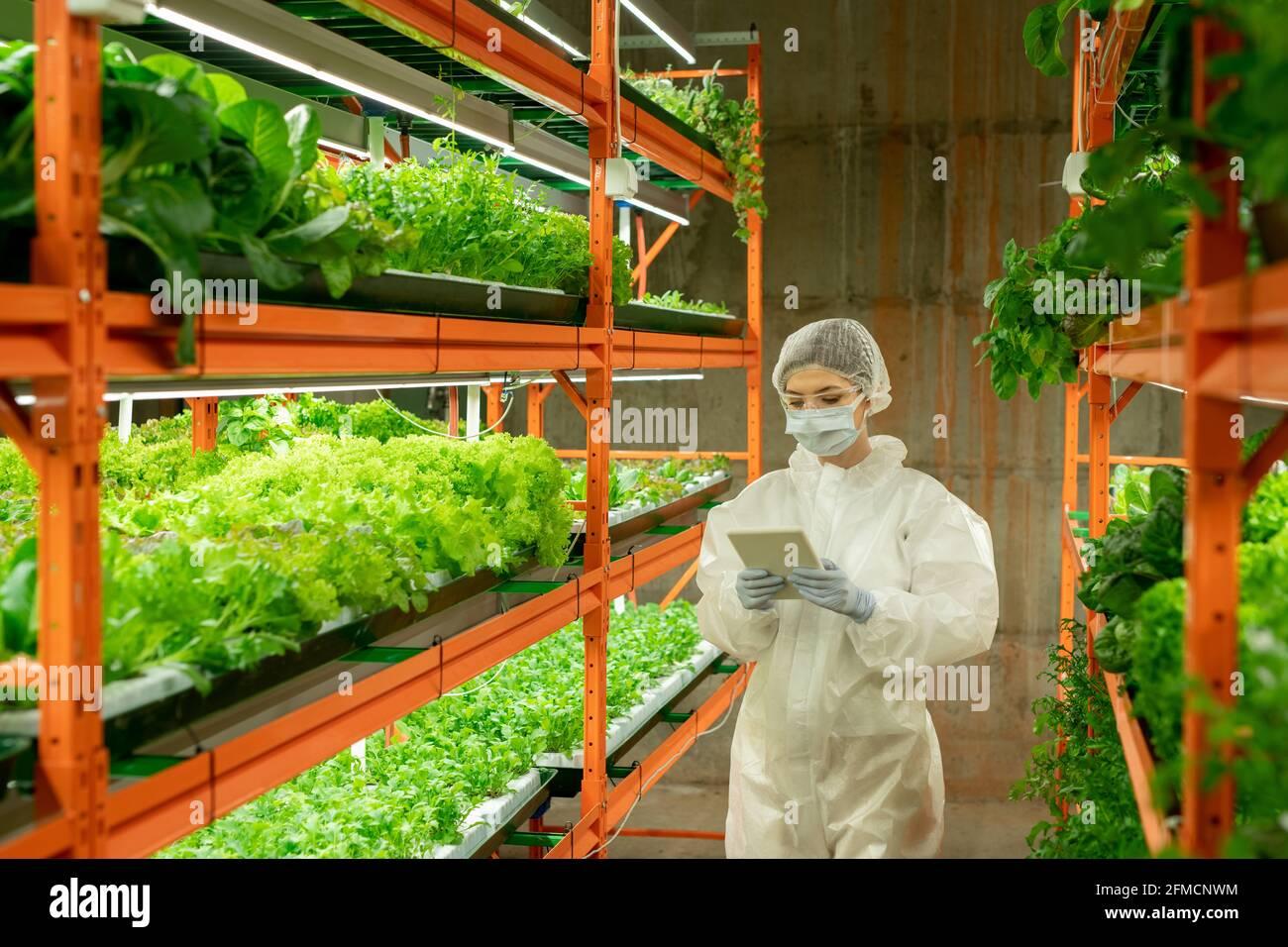 Jeune agronome féminin en costume blanc, gants et masque de protection marchant le long de l'allée verticale de la ferme et utilisant un comprimé tout en analysant la croissance des plantes Banque D'Images