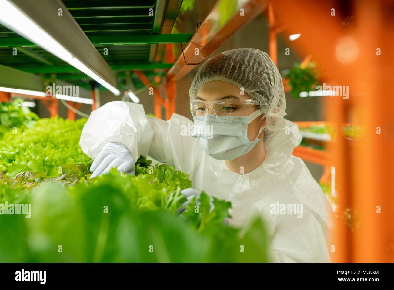Cultivateur concentré dans des lunettes de protection, un masque et un capuchon se tenant à la plate-forme verticale de la ferme et examinant les feuilles des plantes Banque D'Images