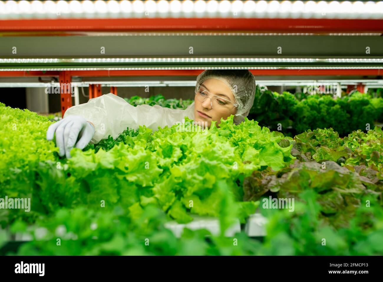 Jeune femme travaillant de planthouse concentrée dans des lunettes de sécurité et du latex gants touchant les feuilles tout en contrôlant la qualité des verts Banque D'Images