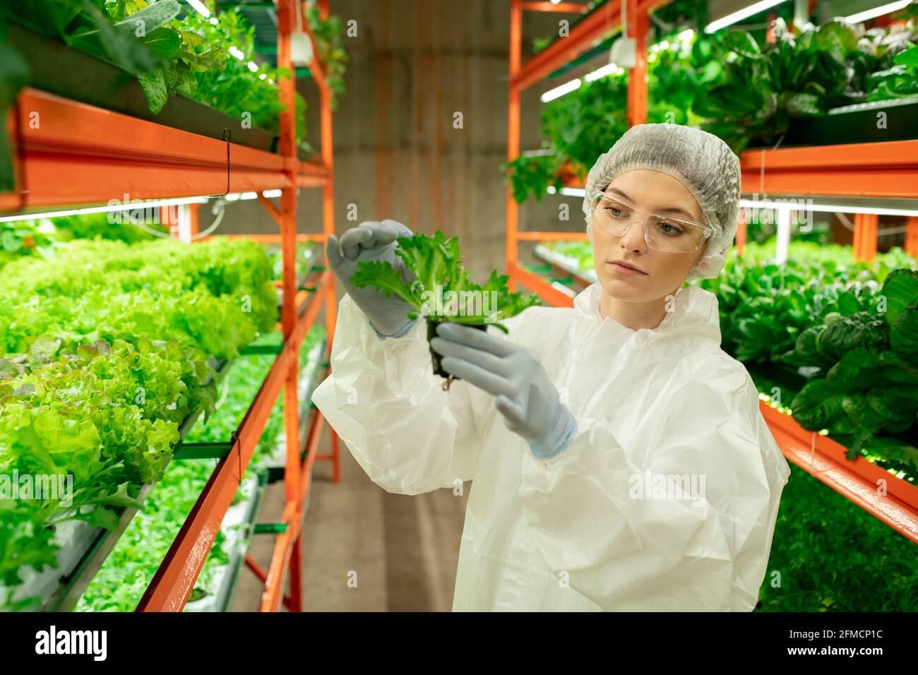 Jeune femme sérieuse en chapeau, lunettes et combinaison de protection debout à la ferme verticale touchant la feuille d'arugula tout en contrôlant la croissance de la plante Banque D'Images