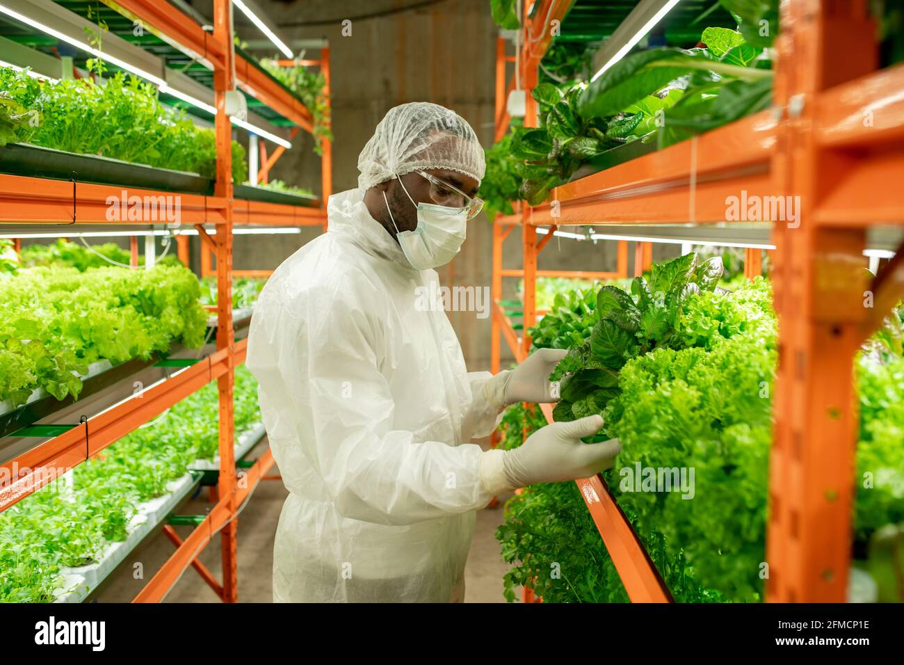 Jeune ingénieur agricole noir sérieux dans le masque, le chapeau et les lunettes de protection debout à la plate-forme verticale de la ferme avec diverses sortes de laitue et le vérifier Banque D'Images