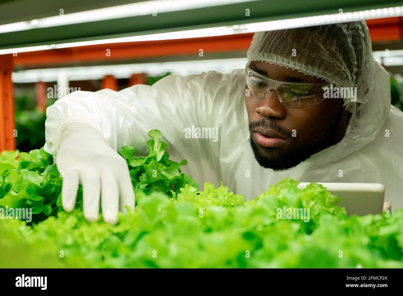Jeune afro-américain sérieux avec une barbe portant des lunettes de sécurité et un capuchon utilisation de comprimés et examen de plantes en serre de pépinière Banque D'Images