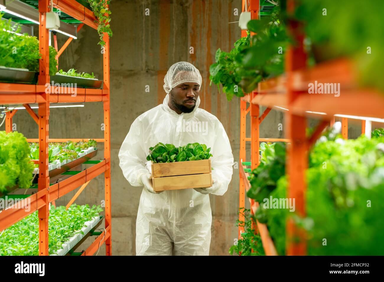 Sérieux jeune afro-américain agroingénieur dans la boîte de transport de vêtements de travail de protection de semis le long de l'allée d'agriculture verticale Banque D'Images
