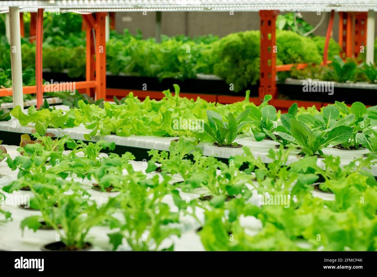 Ferme verticale intérieure avec des semis de légumes verts en rangées sous Lampes LED dans la serre de pépinière Banque D'Images