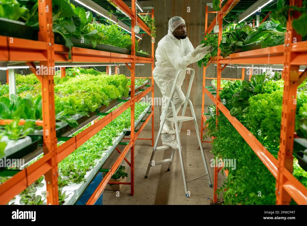 Jeune ouvrier sérieux de serre noir en chapeau et en costume de protection se tenir sur l'échelle et toucher les feuilles de laitue pendant la vérification santé des plantes Banque D'Images