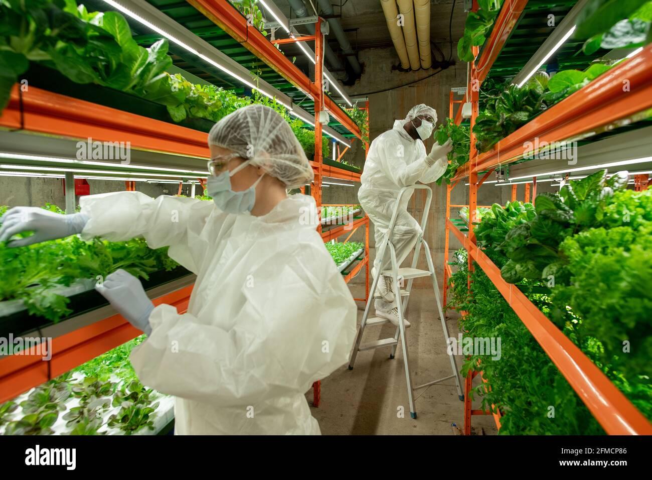 Travailleurs de ferme verticale examinant les feuilles de laitue et d'empotage Plantes en serre moderne avec lampes LED et cadre métallique Banque D'Images