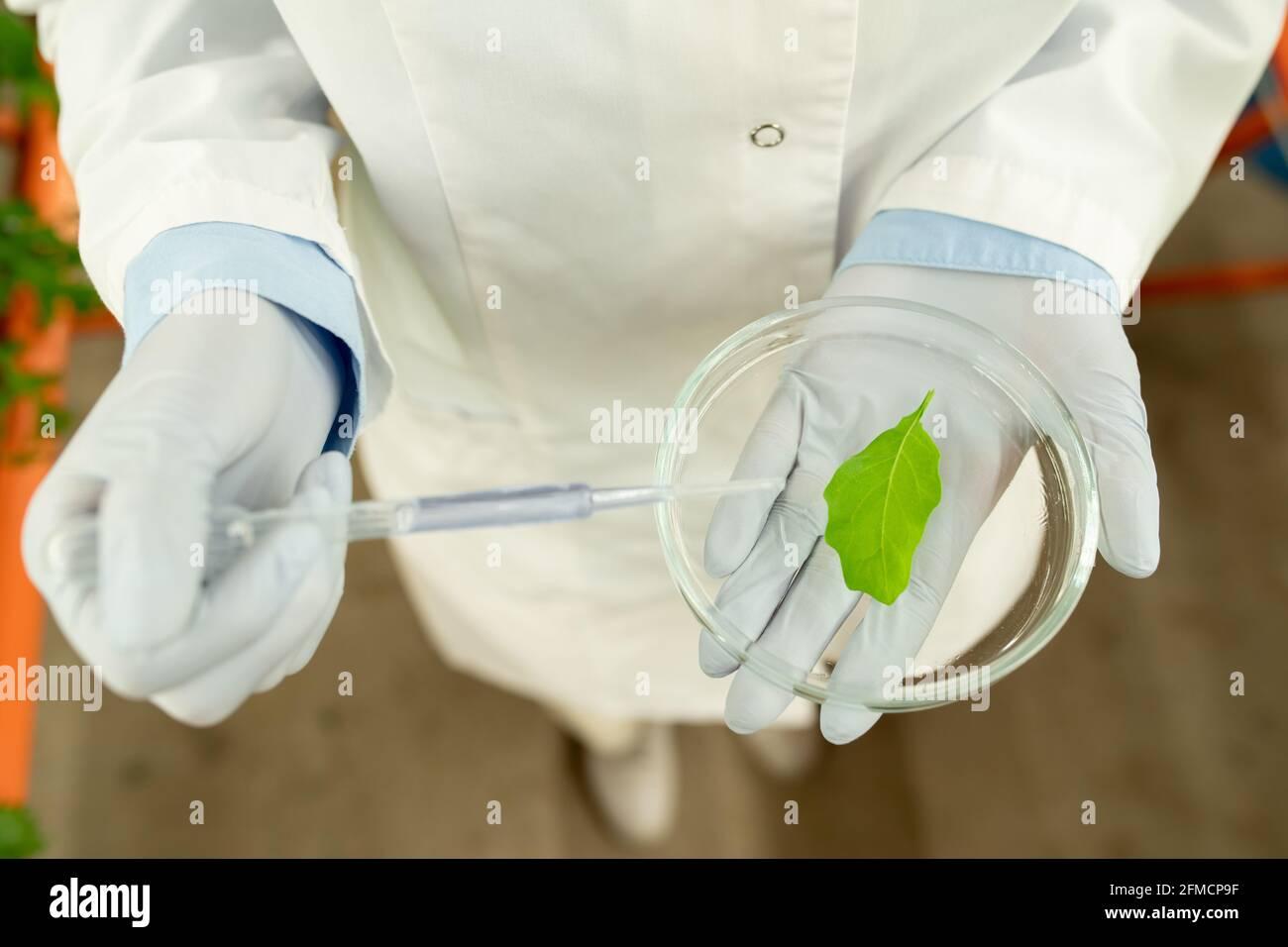 Vue ci-dessus d'un biologiste méconnaissable en gants de latex tenant le pétri boîte et dépôt de réactif sur la feuille Banque D'Images