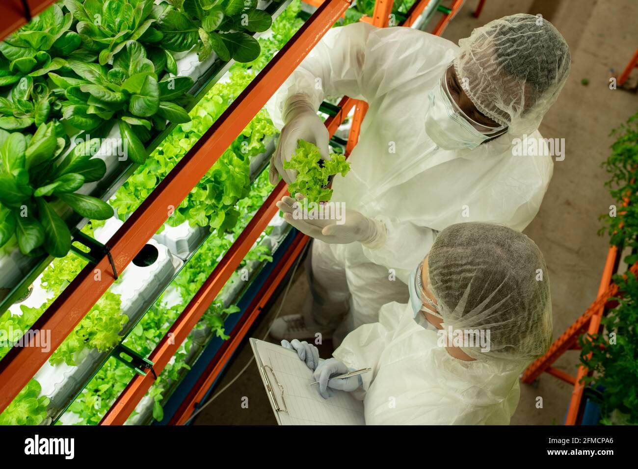 Vue ci-dessus des collègues de la maison de hothouse multiethnique dans l'examen des vêtements de travail de protection couleur de la laitue et fixation verticale dans les papiers ferme Banque D'Images
