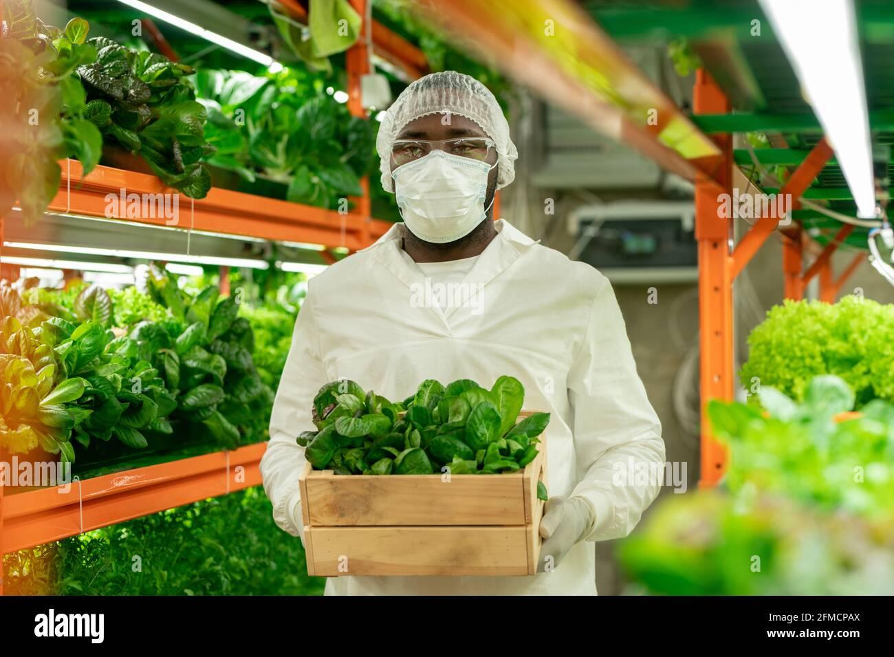 Jeune travailleur sérieux de serre afro-américain en manteau blanc, masque et bouchon jetable transportant une boîte en bois de semis tout en la remplaçant Banque D'Images