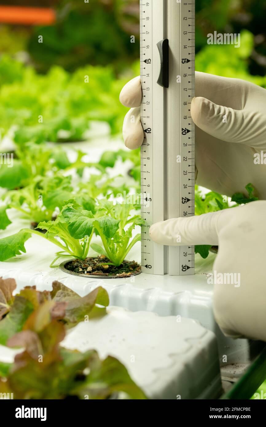 Gros plan d'un spécialiste de la culture méconnaissable en gants mesurant le semis de plantes avec règle spéciale en serre Banque D'Images