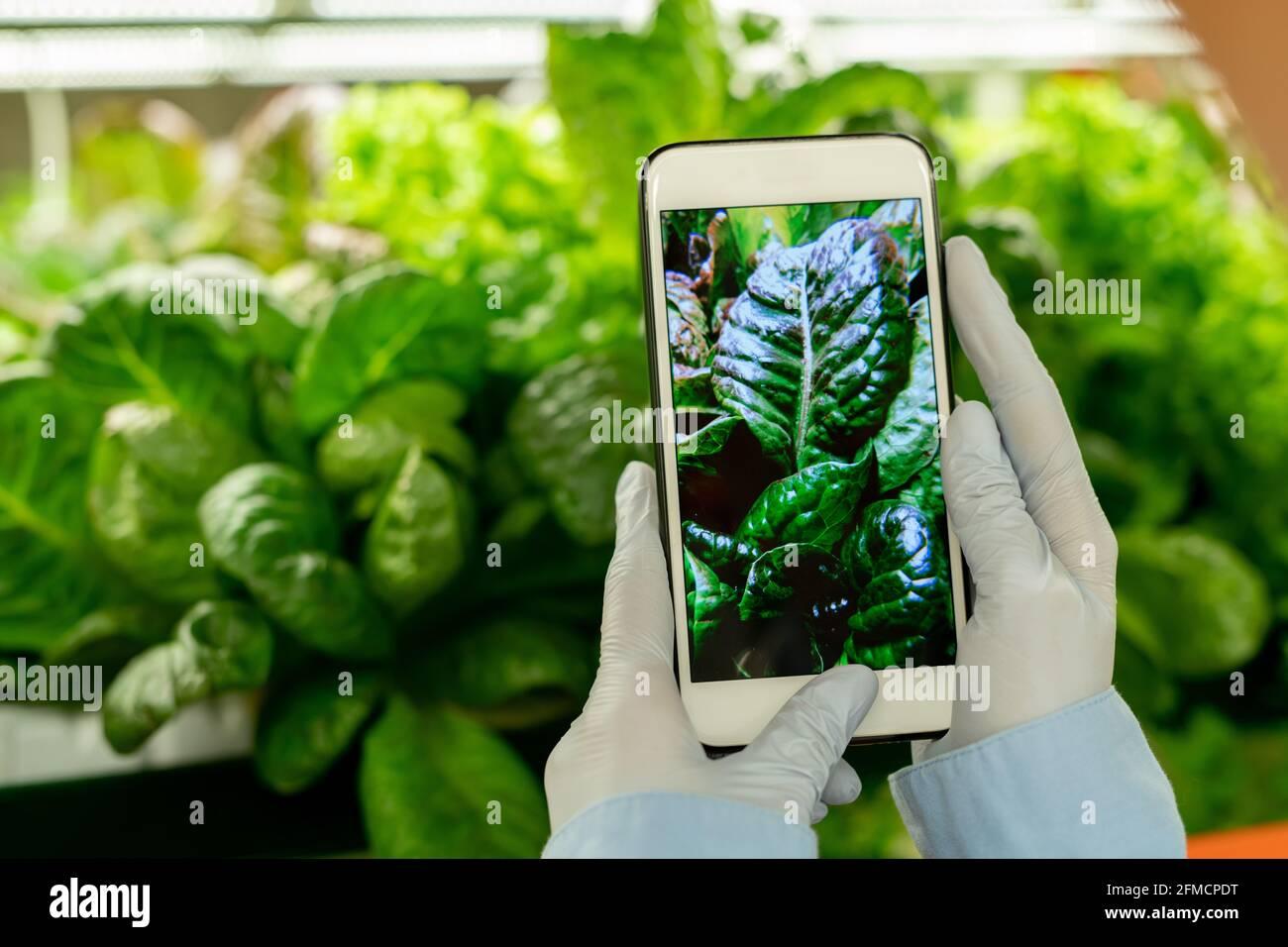 Gros plan d'un ingénieur agricole méconnaissable en gants photographiant des feuilles smartphone pour la recherche en serre Banque D'Images