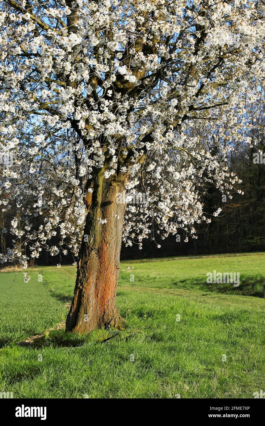 Nature Art: Cerisiers en fleurs phototournage avec le modèle Lana en tant que peinture de l'herbe à Groeninger Feld à Hameln, on 5 mai 2021 - artiste de la peinture du corps: Joerg Duesterwald Banque D'Images